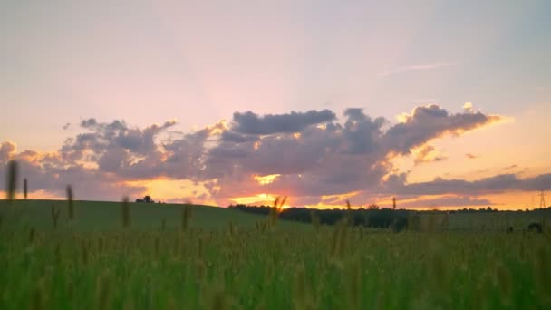 Moving footage of beautiful sunset above wheat or rye field, amazing pink sky with clouds