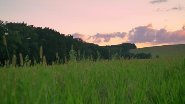 Footage of wheat or rye field with amazing pink sky above, beautiful nature