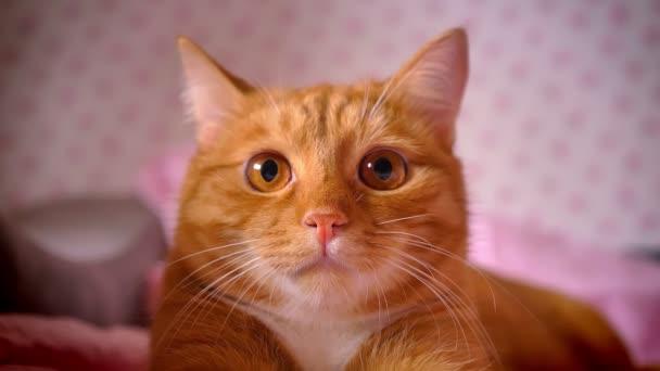 Közeli lövés a piros haza cica nyugodtan keres, és piros fekvő bed chill, félelmetes bolyhos pet