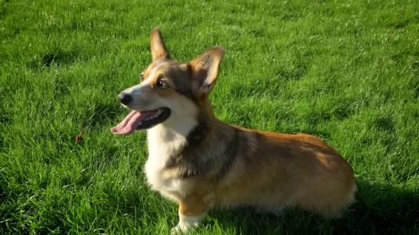Nahoru shot corgy psa sledovat nahoru s jeho jazyk v zeleném parku