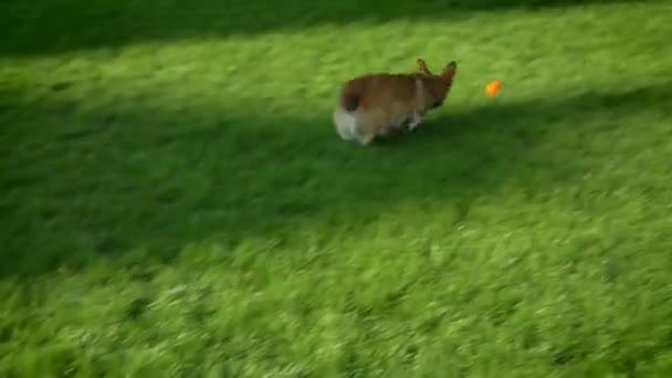 Portrét corgy pes běží a hrát s malým míčem na pozadí zelený park