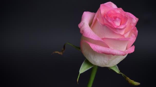 Closeup střílet krásné růžové růže s kapkami deště na její lístky s izolované na tmavém pozadí
