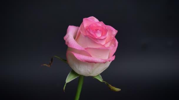 Lő lenyűgöző rózsaszín rózsa eső csepp a szirmait, annak elszigetelt sötét háttér