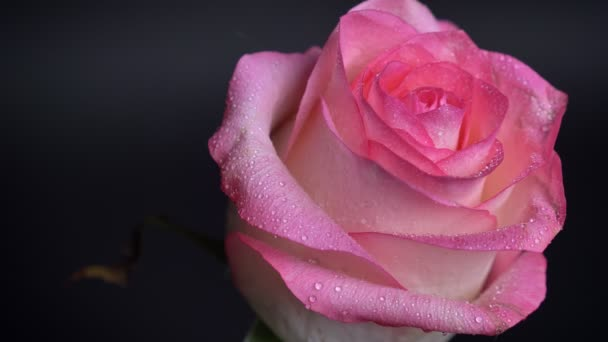 Closeup natáčení chvění krásné růžové růže s deštěm kapek na její lístky s izolované na tmavém pozadí.