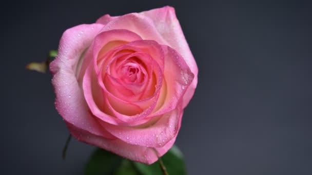 Detailní záběr shora dolů natáčení lehké krásné růžové růže s kapkami deště na její lístky s izolované na tmavém pozadí
