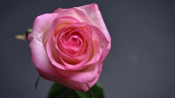Vértes felülről lefelé lőni könnyű gyönyörű rózsaszín rózsa, esőcseppek a szirmait, annak elszigetelt sötét háttérrel