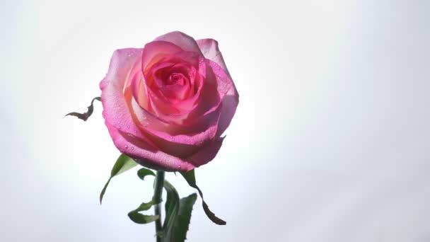 Lő a gyönyörű rózsaszín rózsa, elszigetelt fehér háttér