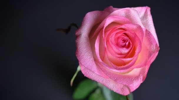 Closeup shoot ofbeautiful pink rose all the day long with the background isolated on dark