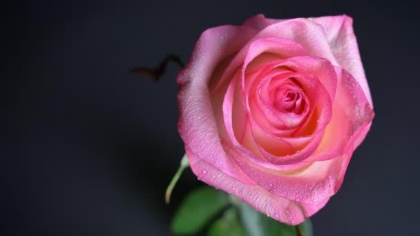 Nahaufnahme Shooting der schönen rosa Rose den ganzen Tag lang mit dem Hintergrund isoliert auf dunklem