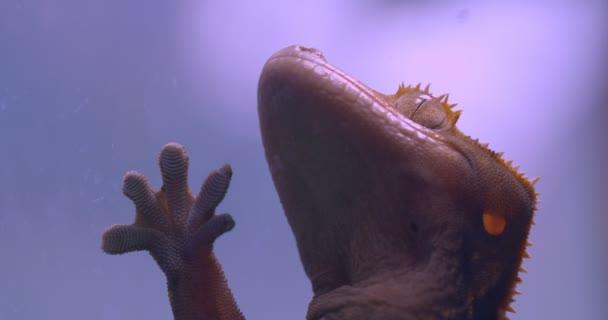 Nahaufnahme von grünem Frosch, der ruhig das Aquarienglas berührt und tief im Terrarium atmet.
