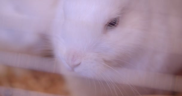 Close-up shot of cute white fluffy rabbit chewing in the zoo cage.