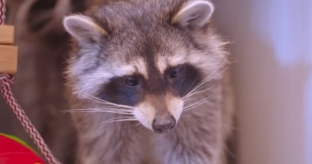 Close-up shot of two cute fluffy raccoons in the zoo cage watching around.