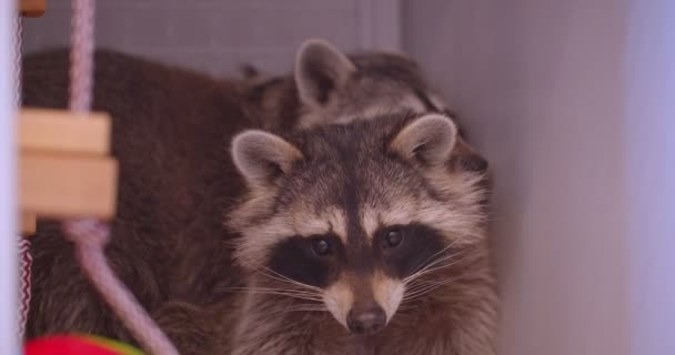Close-up shot of two cute fluffy raccoons in the zoo cage being careful observing the surroundings.