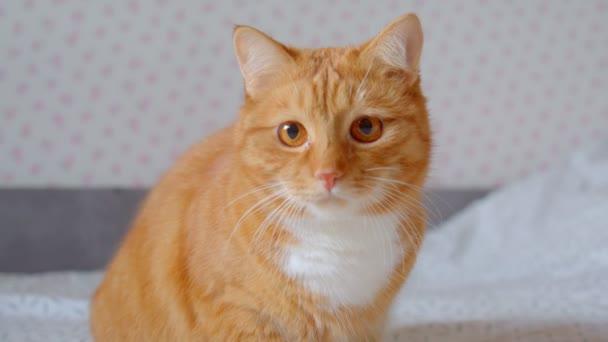 Krásná Chlupaté zázvorná kočka seděla na posteli a upřeně se zaměřila a zajímala se o domov.