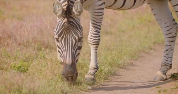 Closeup hajtás egyetlen aranyos Zebra eszik füvet a területen a természetben a nemzeti parkban
