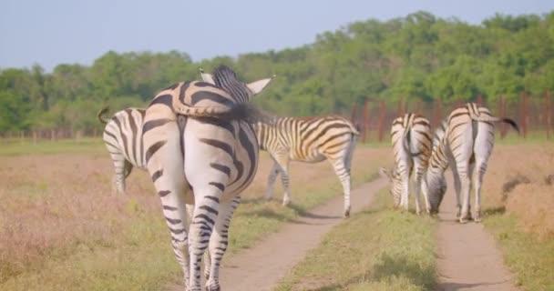 Sestřelovací střevíce skupiny krásných zebry pojídáním trávy v terénu v přírodě v národním parku