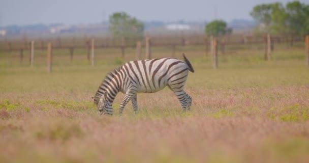 V národním parku se v přírodě na poli nachází sestřelená nádherná Zebra a pojídáním trávy.