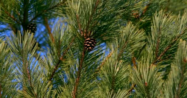 4K. Shooting of fir branches with cones. Coniferous evergreen tree in the Far Eastern Marine Reserve