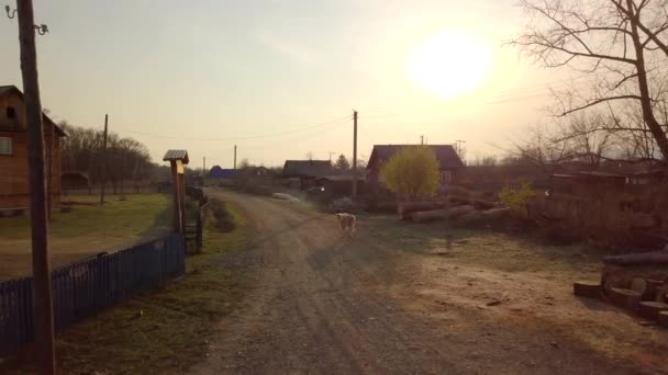 Shooting a domestic cow from a quadrocopter at dawn. A cow walks through the village in the morning