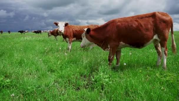 Domácí krávy pasou v létě na zelené louce