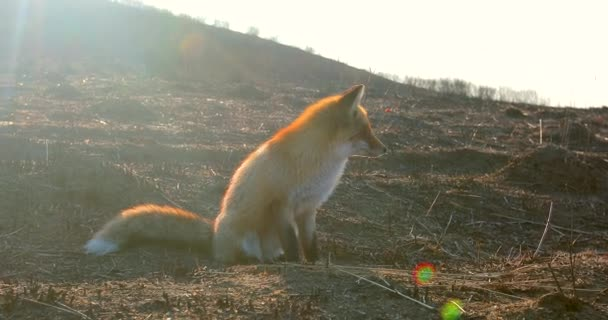 Wild red fox sits in the field. A fox sits in the field at dawn.