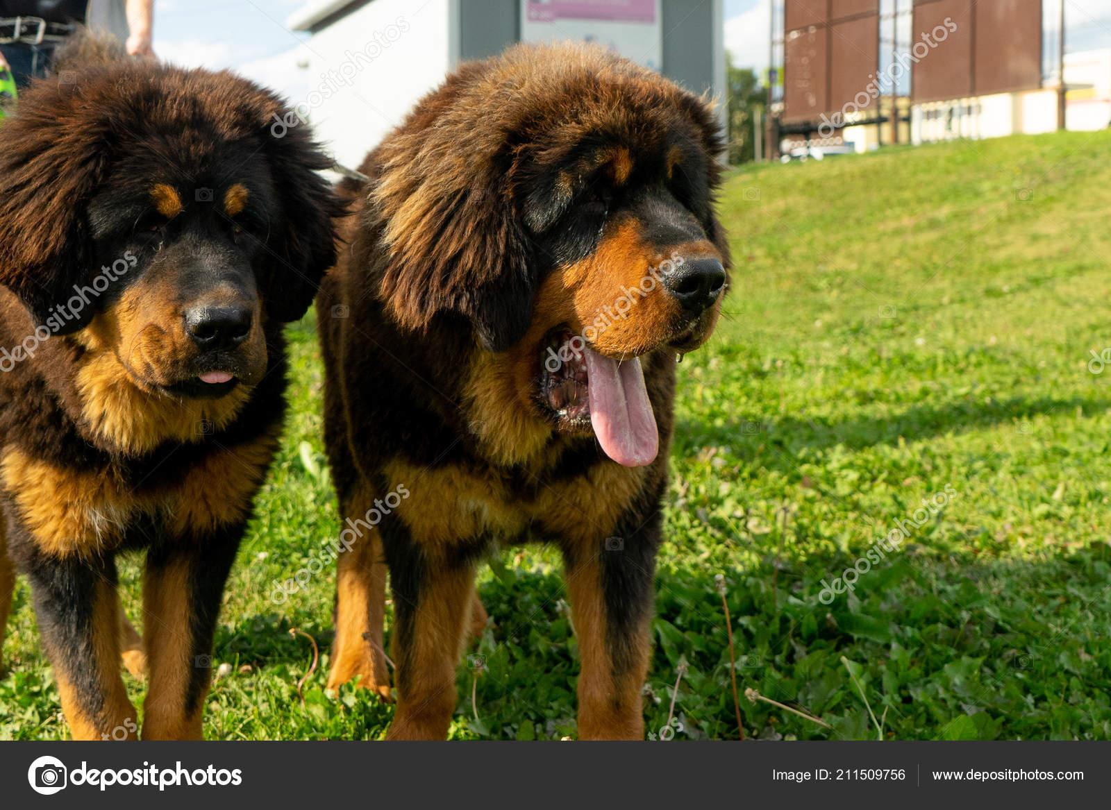 Pair Tibetan Mastiff Puppies Walk Green Grass Summer Evening — Stock