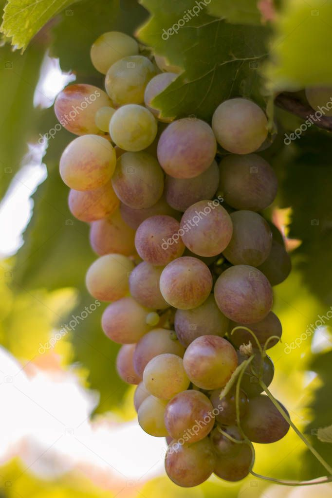 pink grapes growing in the vineyards