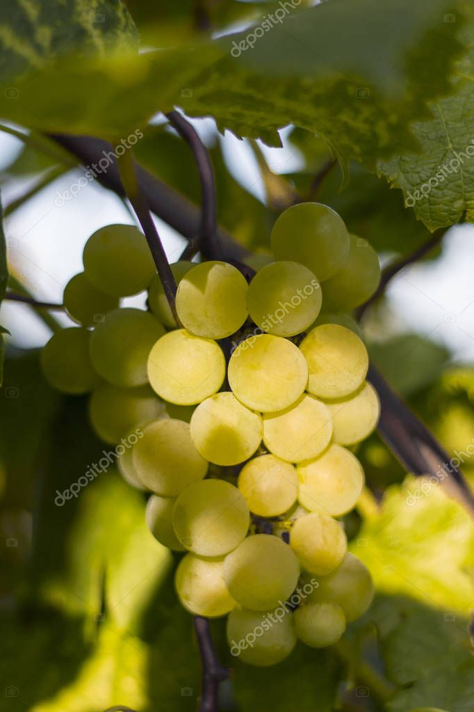 white grapes growing in the vineyards