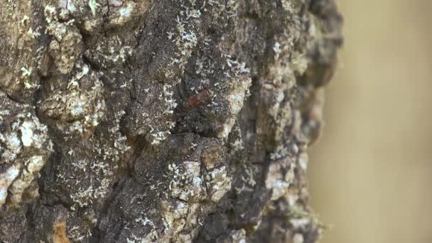 Vörös hangya egy fa