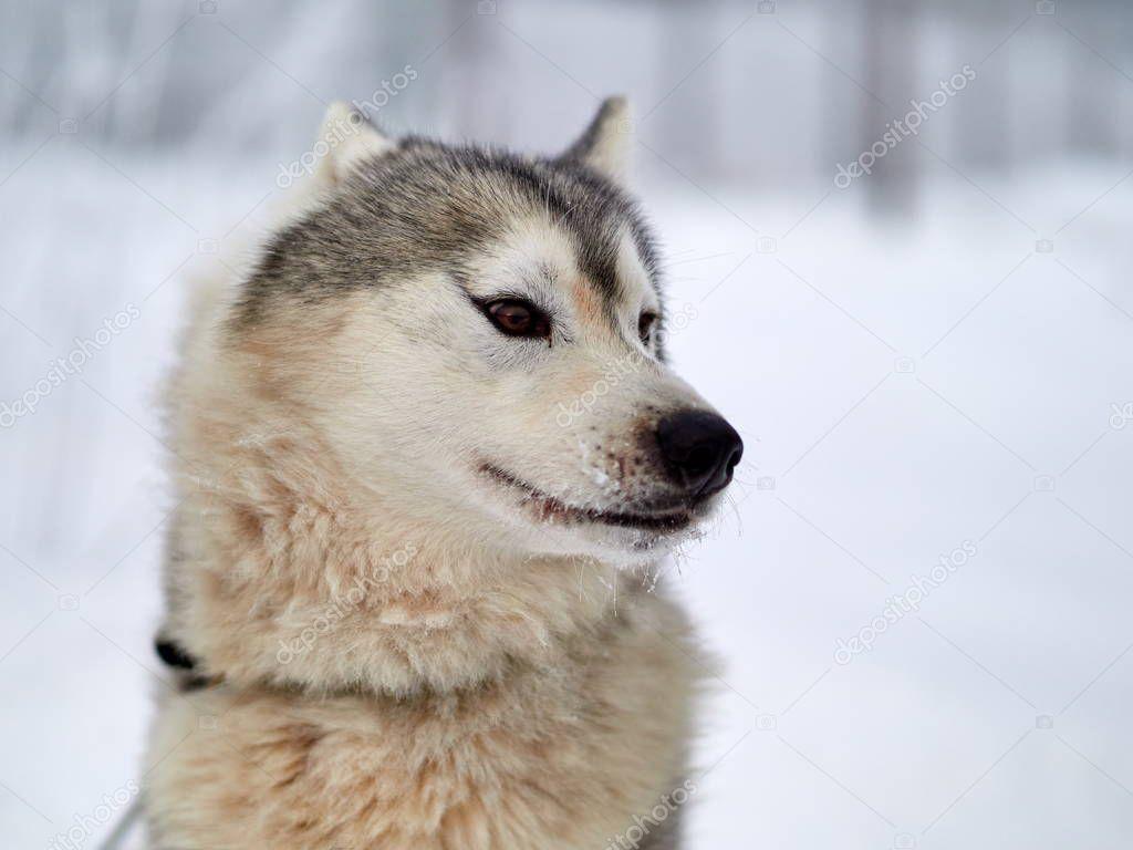 Siberian Husky dog portrait outdoor in winter
