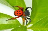 Fotografie ladybird spider (eresus cinnaberinus)