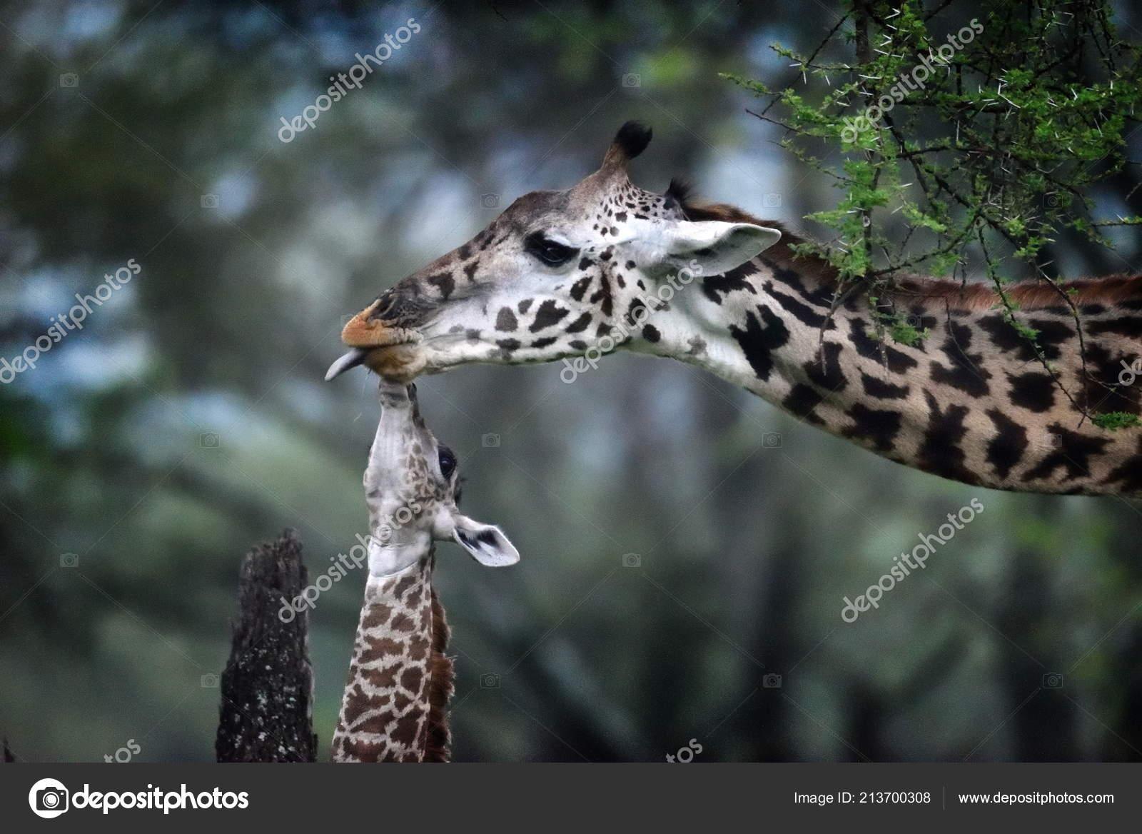 Giraffe Mother Baby Natural Park Stock Photo Bereta 213700308