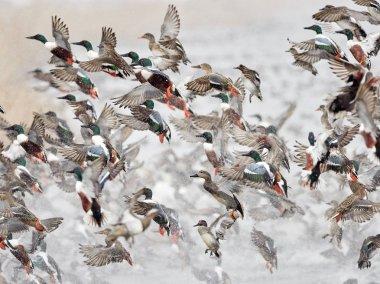 Flock of wild ducks flying over frozen river. Wildlife in winter season stock vector