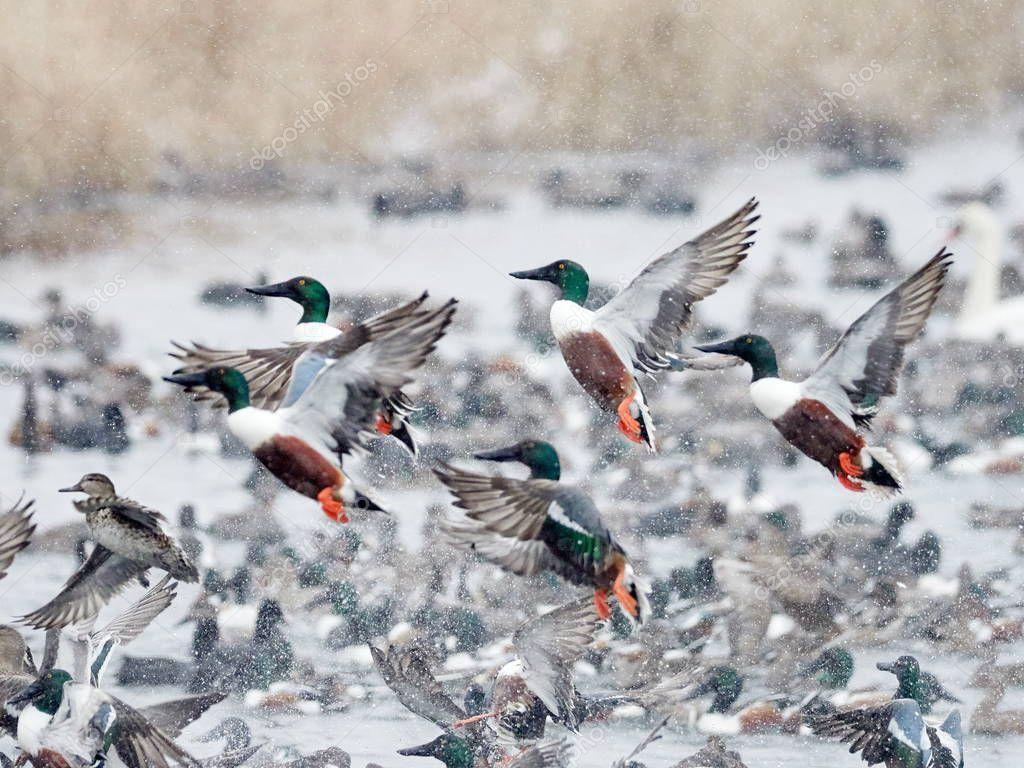 Flock of wild ducks flying over frozen river. Wildlife in winter season