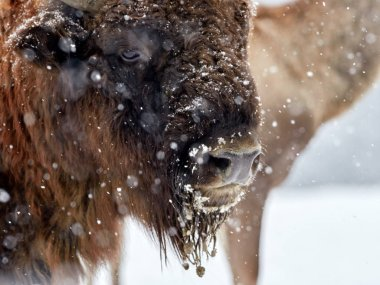 European bison (Bison bonasus) in natural habitat in winter - close-up portrait