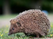 Photo European hedgehog ( Erinaceus europaeus) in natuiral habitat