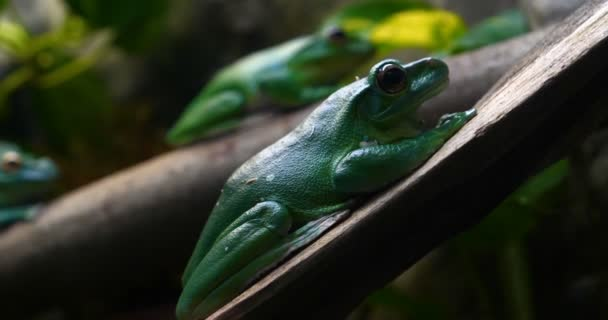 Exotic frog on tree branch with green leaves and flowers. With black rock (rock) background. Concept of: Nautre, Zoo, Africa, Exotic, Frog, Slow motion.