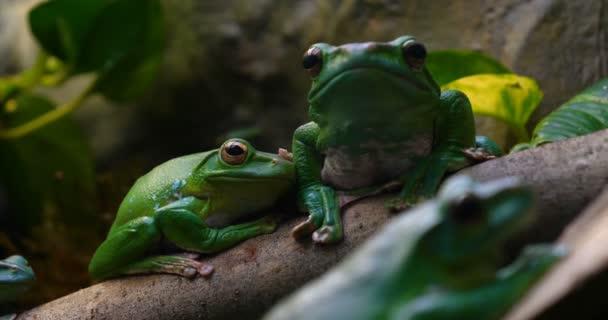 Exotischer Frosch auf einem Ast mit grünen Blättern und Blüten. mit schwarzem Rock (Rock) Hintergrund. Konzept von: Nautre, Zoo, Afrika, Exotik, Frosch, Zeitlupe.