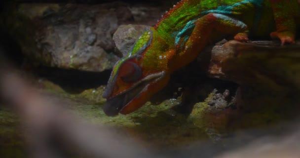 Chameleon (ještěrka), panter, chycení hmyzu, plazů, Chameleo s použitím kamuflátu a chůze. Koncepce: Zoo, myslivosti, Hunter, pomalý pohyb.