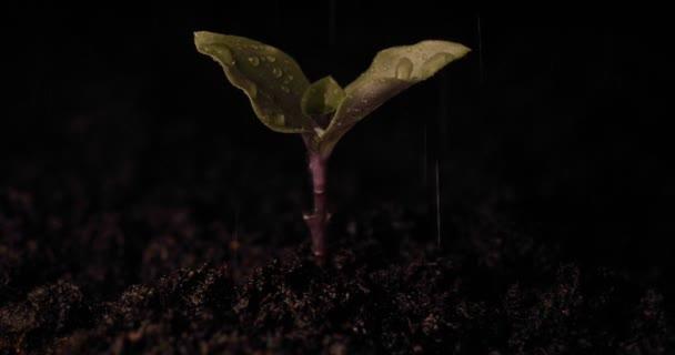 Egy új élet, egy ember tartja a kezében egy hajtás a levelek a földön, nedves, csepp, fekete háttér.