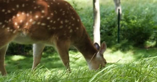 Őz a réten. Állatkert, vadon élő állatok és emlős koncepció. Nagy szarvas család szabadtéri étkezési füvet. Növényevő életmód.