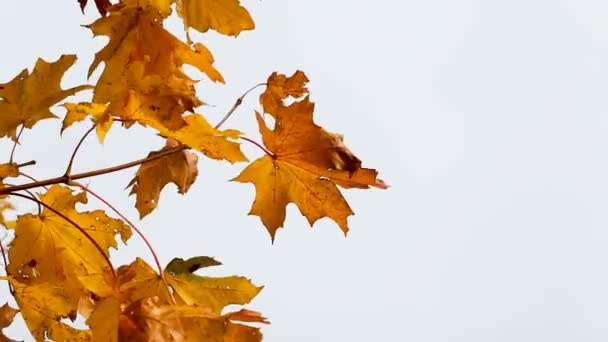 Autumn bright yellow maple leaves flutter in the wind, against the backdrop of a clear sky. High quality FullHD footage