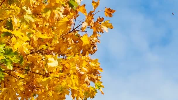 Herbstlich leuchtend gelbe Ahornblätter flattern im Wind, vor dem Hintergrund eines klaren Himmels. Hochwertiges FullHD-Filmmaterial