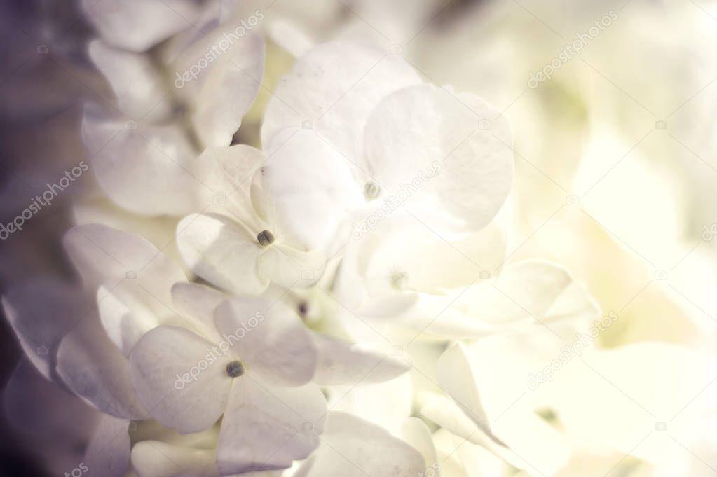 Soft Hydrangea Hydrangea macrophylla or Hortensia flower