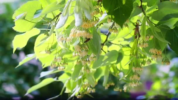 Včely medonosné na rozkvetlé žluté lipové květy na slunečný den