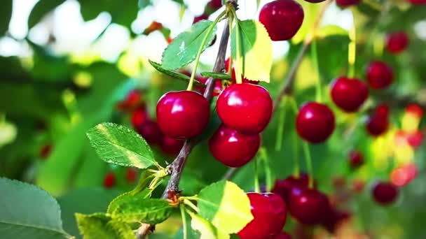 Cherry Tree, Ripe cherries ready for picking in Slow Motion, HD footage