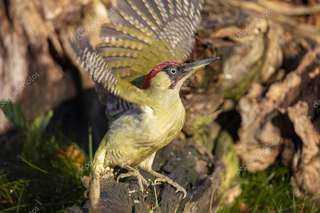 Green Woodpecker, Picus viridis