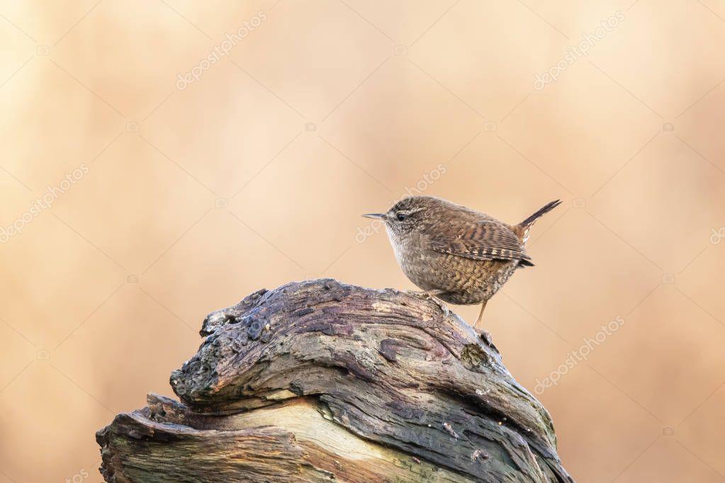 Wren, Troglodytes troglodytes. Small songbird.