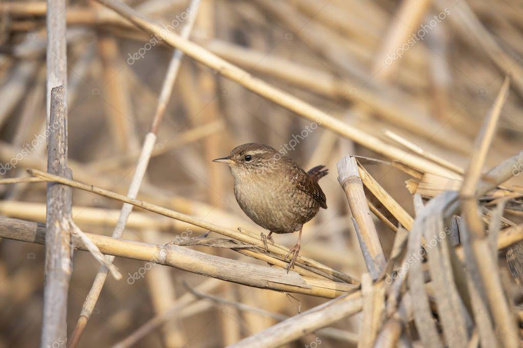 Wren, Troglodytes troglodytes, songbird