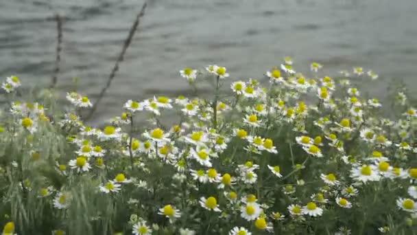 Pole kvetoucí chamomiles ve větru. Kvetoucí chamomiles na břehu řeky ther